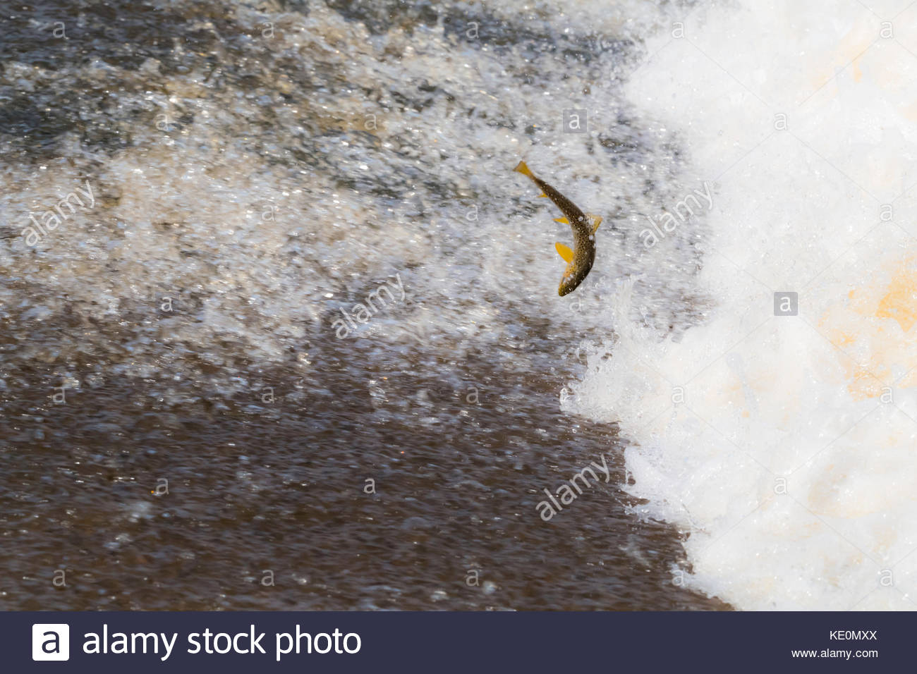 Selkirk, Scottish Borders, UK. 17th Oct, 2017. A Brown Trout (Salmo Trutta) leaps upstream over a cauld on the Ettrick - Stock Image