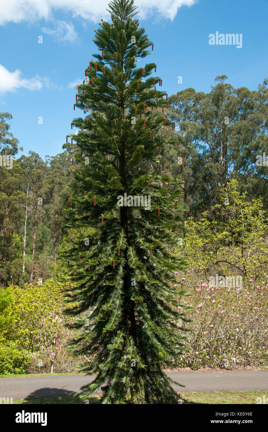 The rare and endangered Wollemi pine, an Araucarian conifer rediscovered in a New South Wales forest in 1994 - Stock Image