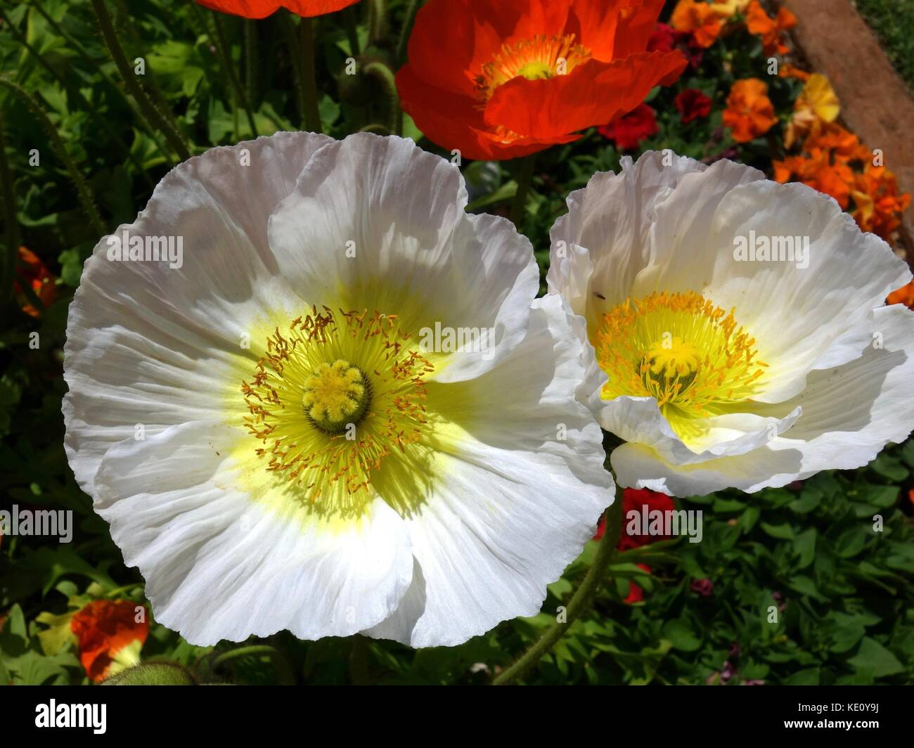 A closeup of two white poppies in a park in Australia on a bed of pansies - Stock Image