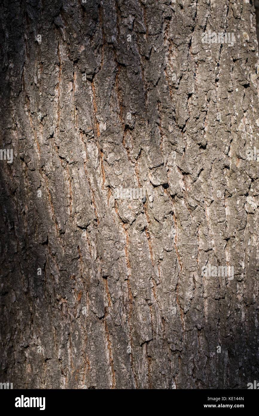 Pine bark background texture - Stock Image