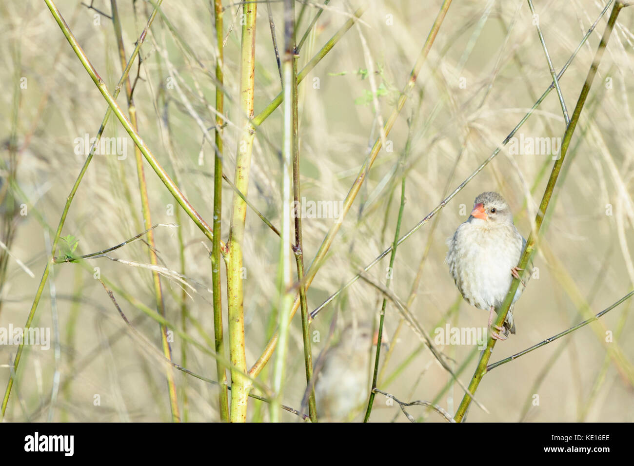 Red-billed quelea (Quelea quelea) perched in reed, Kruger natiobnal park, South Africa. - Stock Image