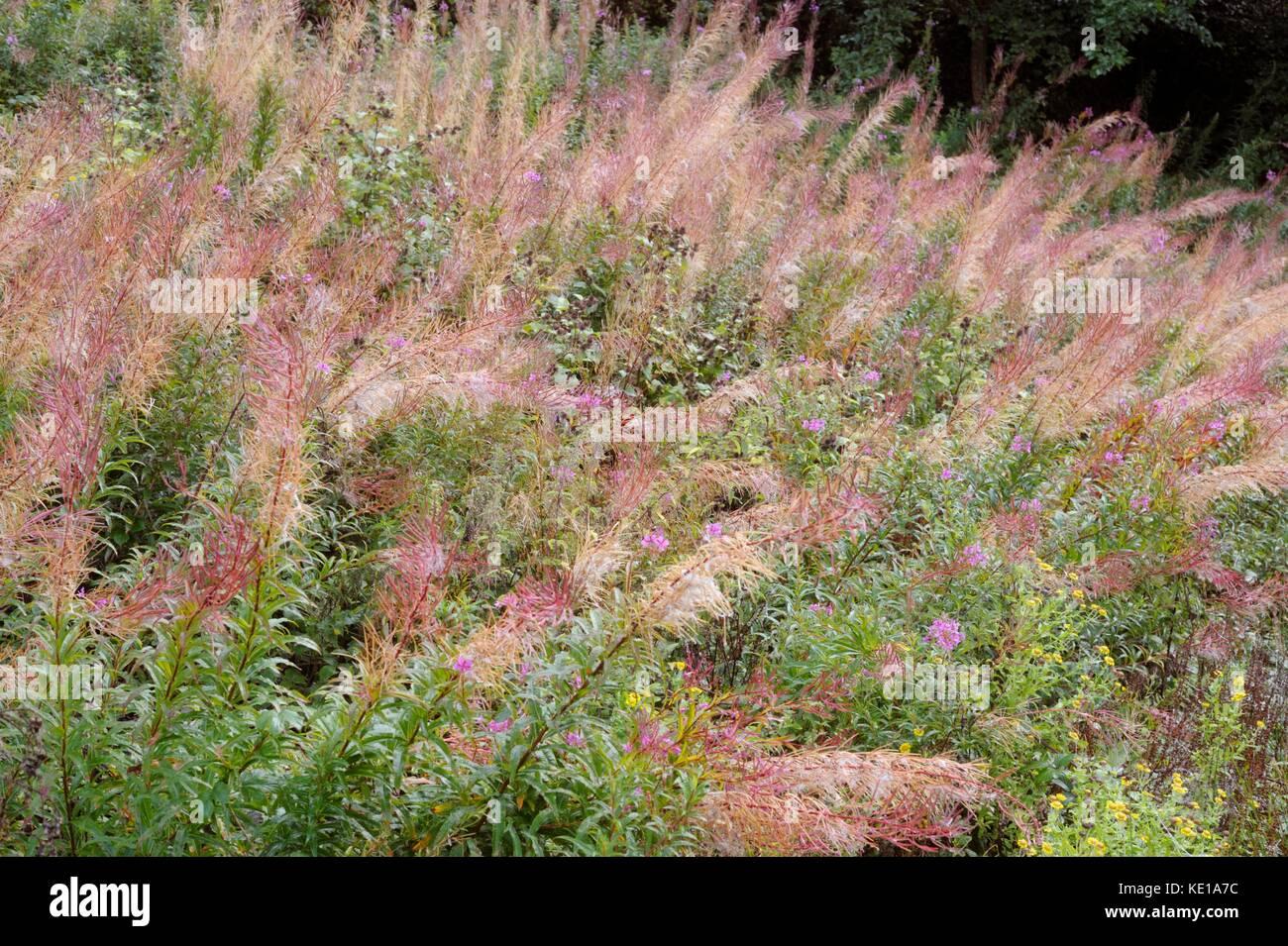 Epilobium angustifolium, Chamaenerion angustifolium, Chamerion angustifolium, Rosebay Willowherb or Fireweed seedheads, Stock Photo