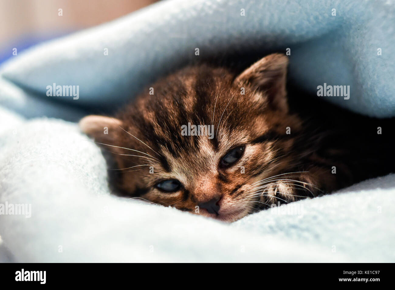 A cute little kitten lying in a blanket at home. - Stock Image