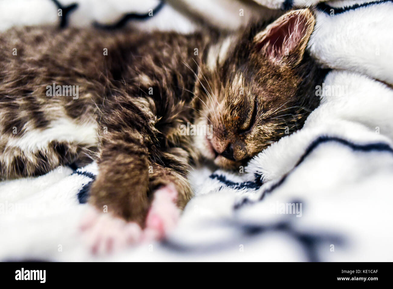 A cute little kitten sleeping in a blanket at home. Stock Photo