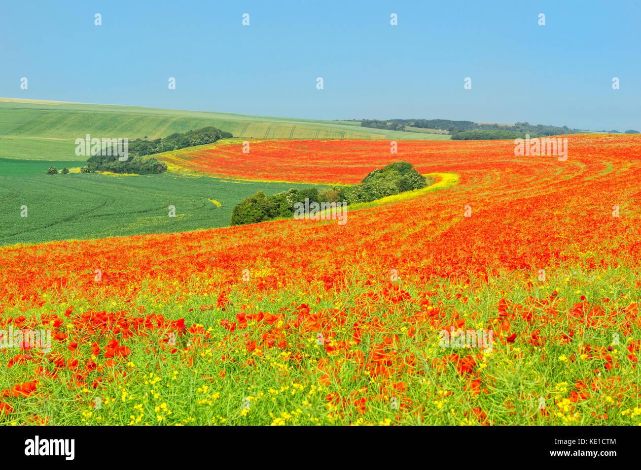 Red Poppies field, Côte d'Opale, Region Nord-Pas de Calais, France - Stock Image