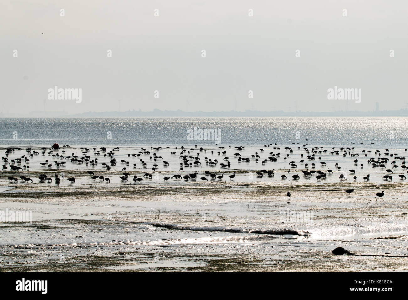 Brent Geese (Branta bernicla) feeding in the mud flats of the Thames Estuary near Southend on Sea, Essex - Stock Image