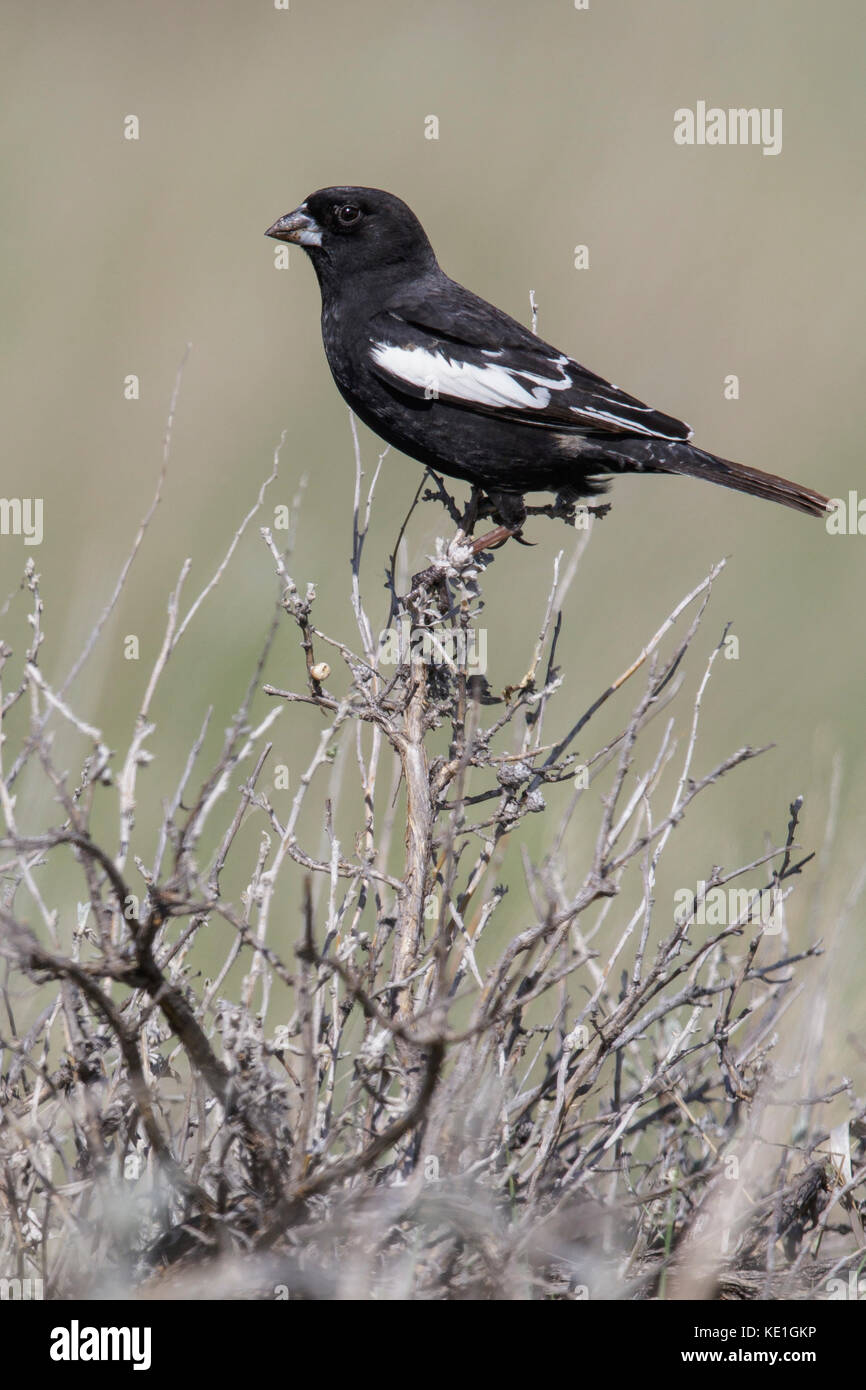Lark Bunting (Calamospiza melanocorys) perched on a branch in Alberta, Canada. - Stock Image