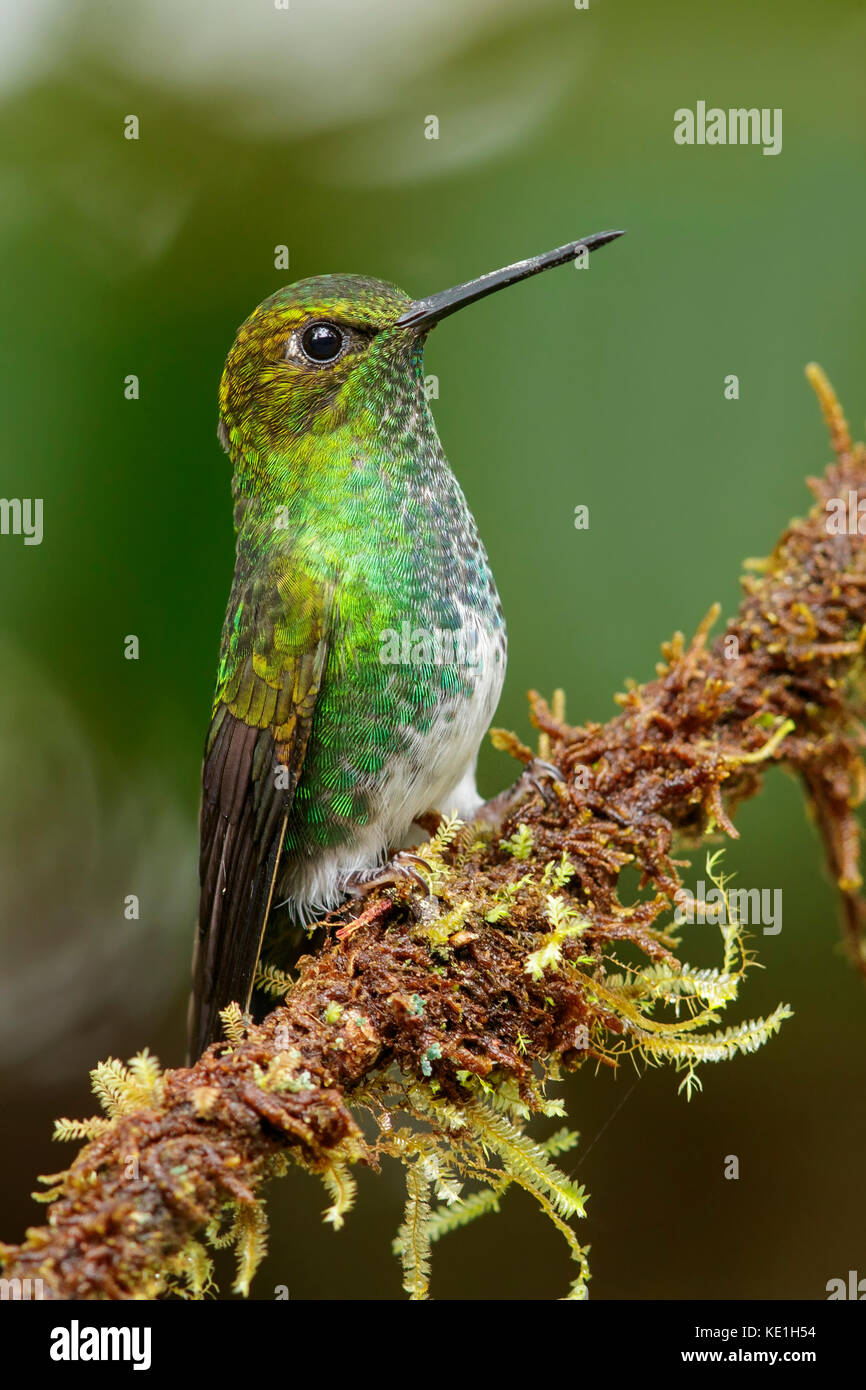 Greenish Puffleg (Haplophaedia aureliae) perched on a branch in the Andes Mountains of Colombia. - Stock Image