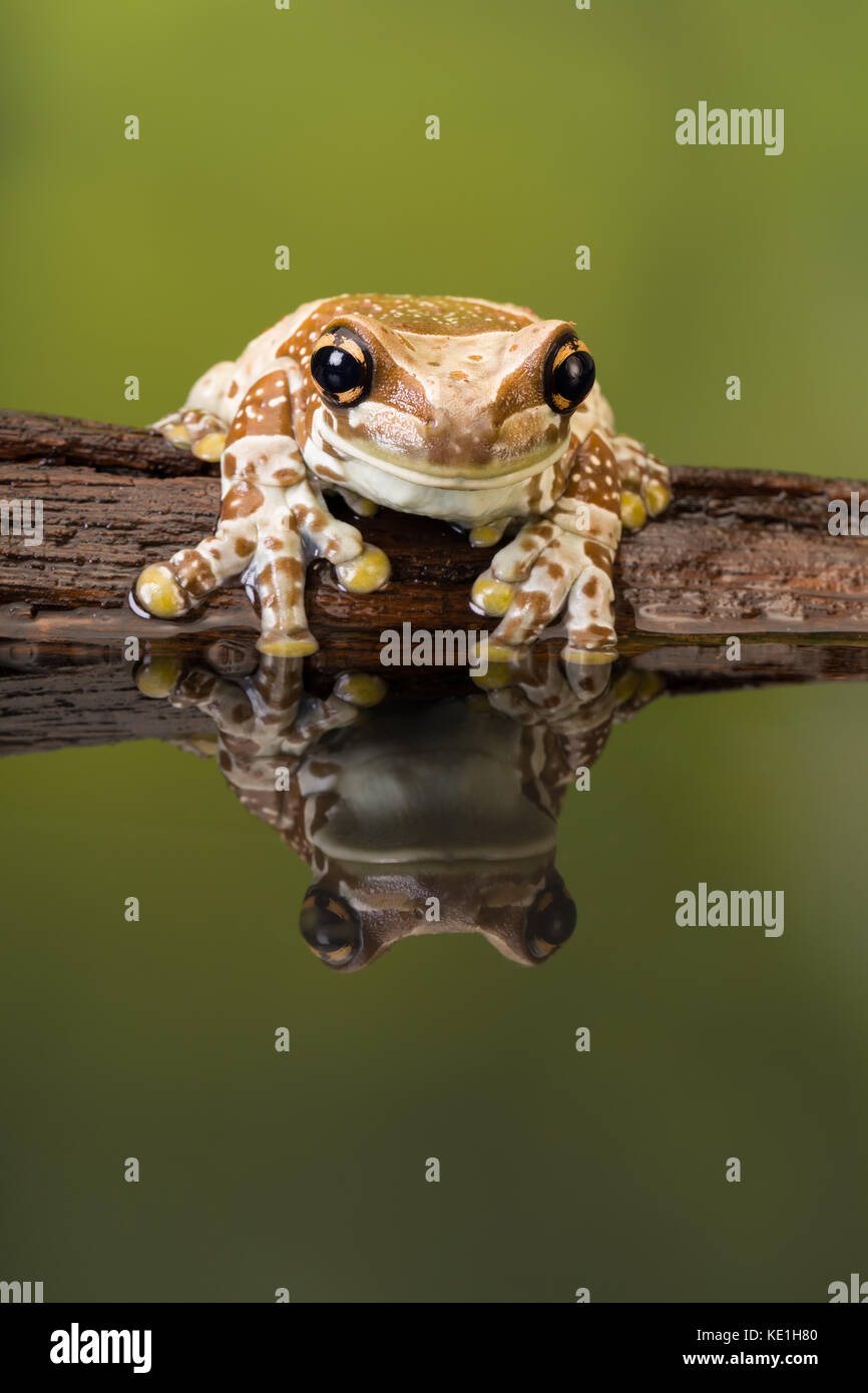 The Mission golden-eyed tree frog or Amazon milk frog (Trachycephalus resinifictrix) is a large tree frog of the - Stock Image