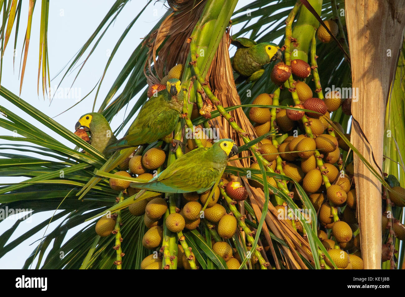 perched on a branch in the grasslands of Guyana - Stock Image