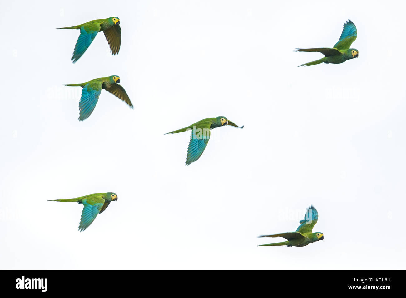 flying in the grasslands of Guyana. - Stock Image