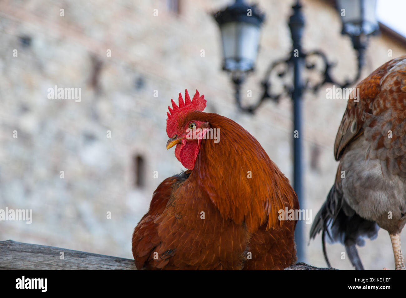 A red feathered rooster sitting calmly on a wooden fence in a castle yard. Stock Photo