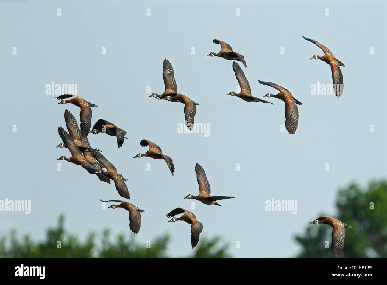 White-faced Whistling Duck (Dendrocygna viduata) flying in the grasslands of Guyana. - Stock Image