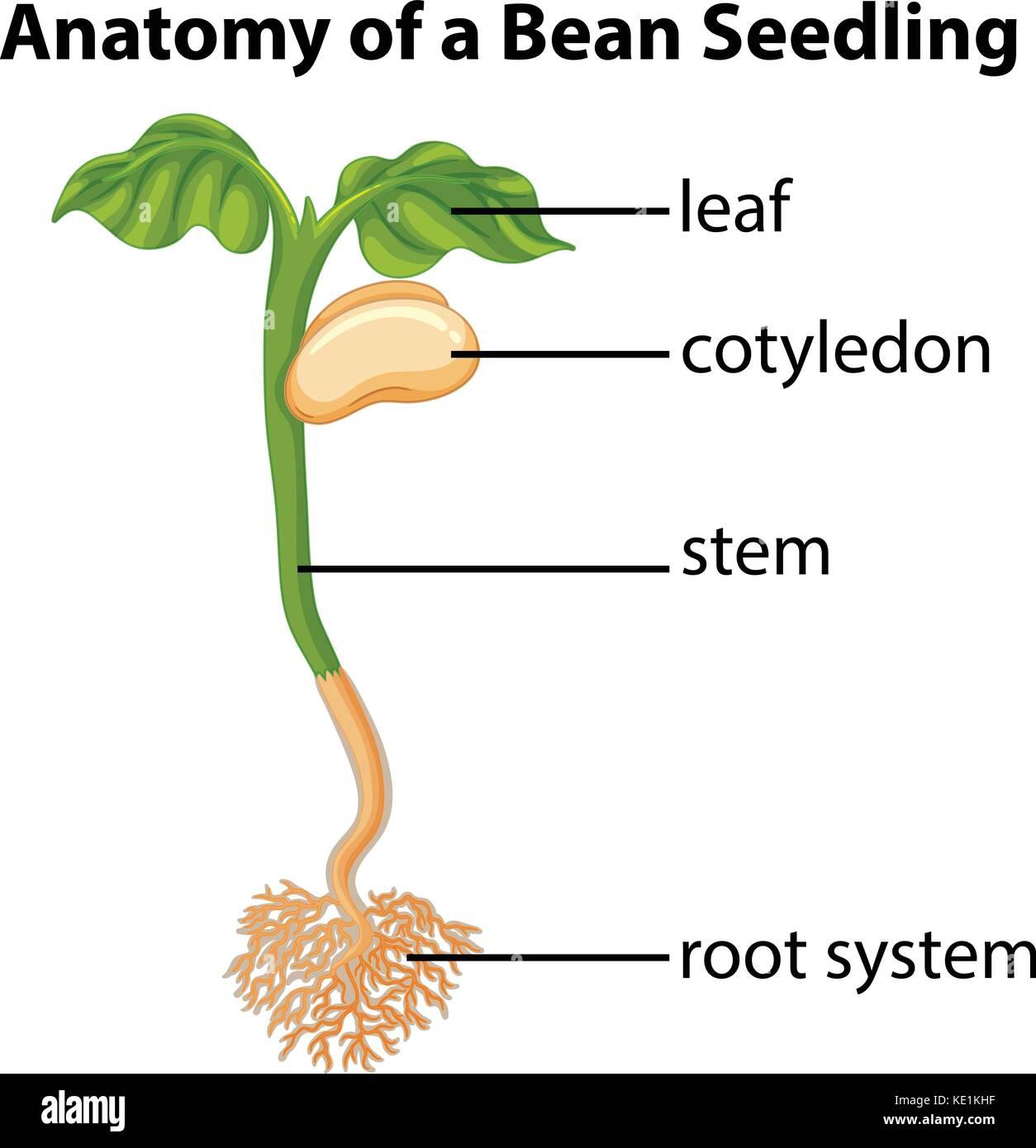 Anatomy of bean seedling on chart illustration - Stock Vector