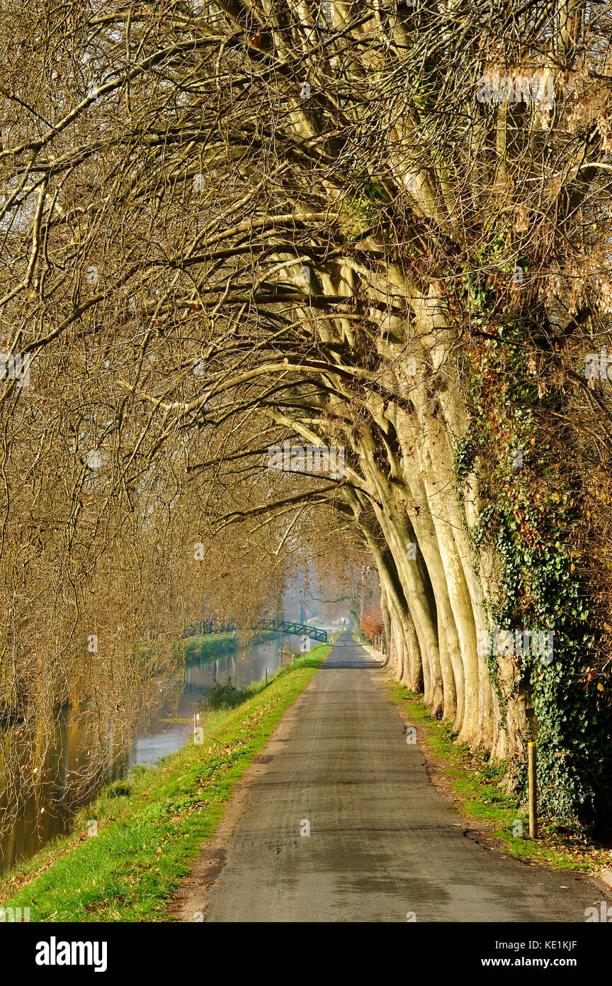 Plane trees, Platanus spp., beside tow path, Lalinde Canal at Lalinde, Dordogne Department, Aquitaine, France - Stock Image