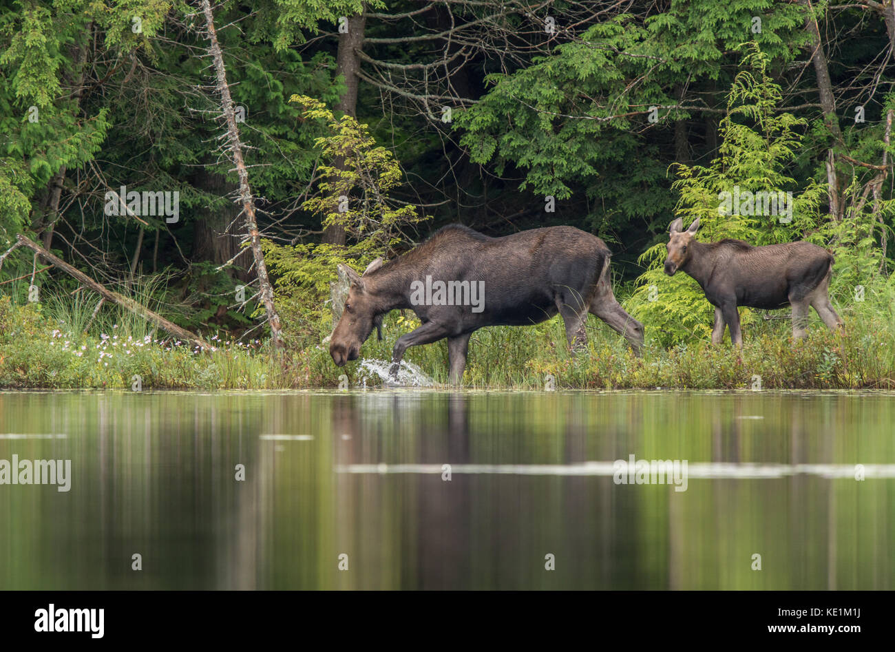 Cow Moose and Calf feeding along the waters edge in Rural Ontario, Canada Stock Photo