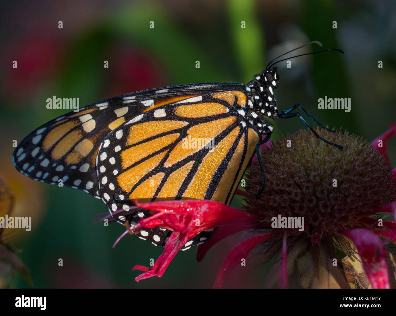 monarch butterfly on a dew covered red monarda flower in the early morning light Ontario, Canada Stock Photo