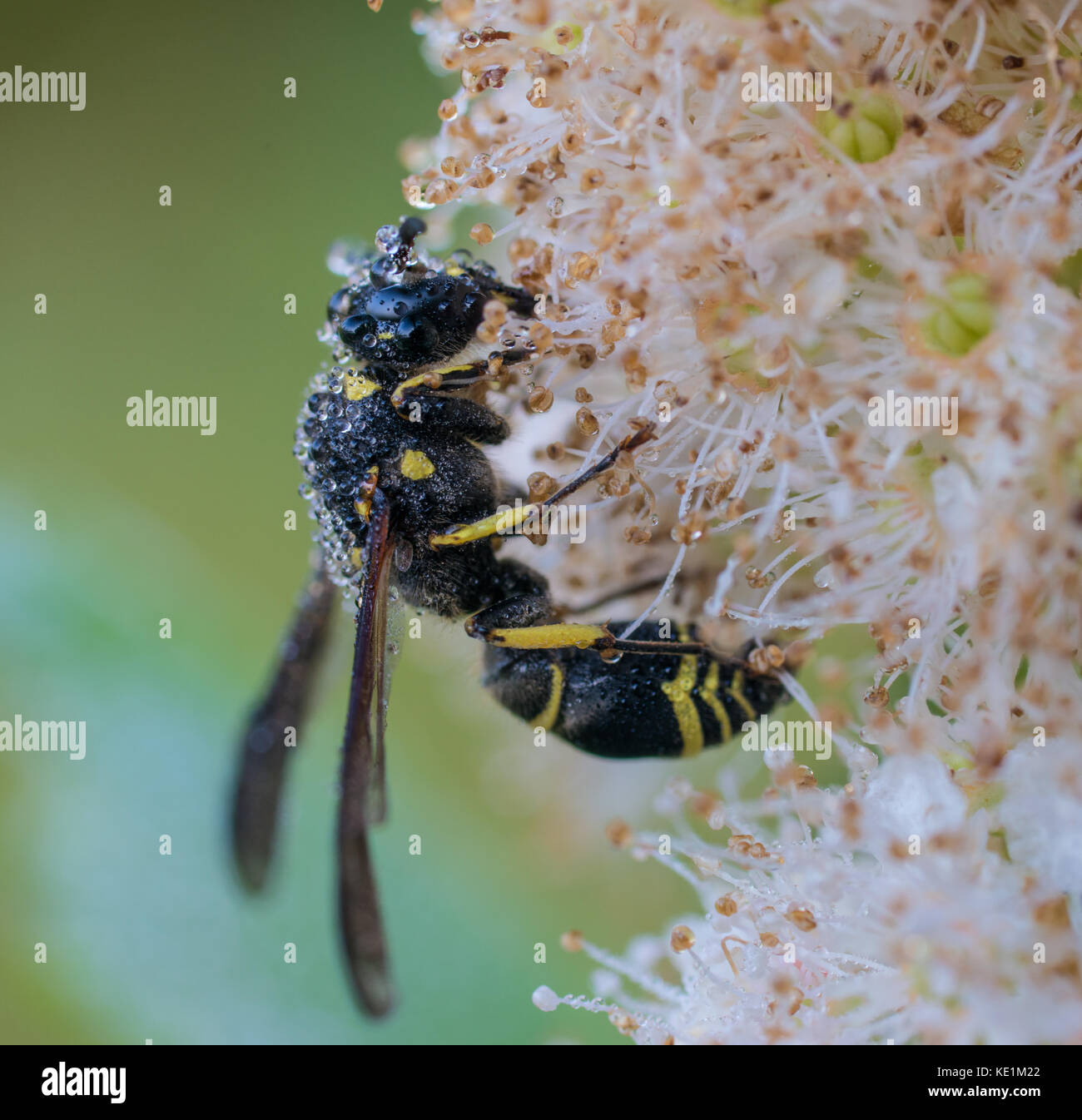 Potter Wasp, Eumenes fraternus on dew covered flower North Eastern Ontario, Canada Stock Photo