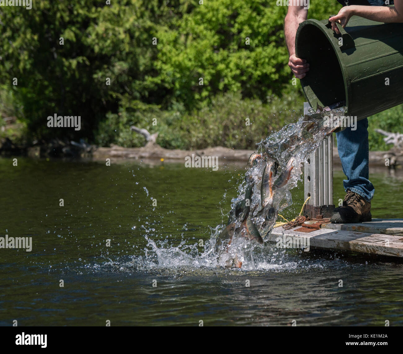 MNR stocking Speckled Trout, Ontario, Canada Stock Photo