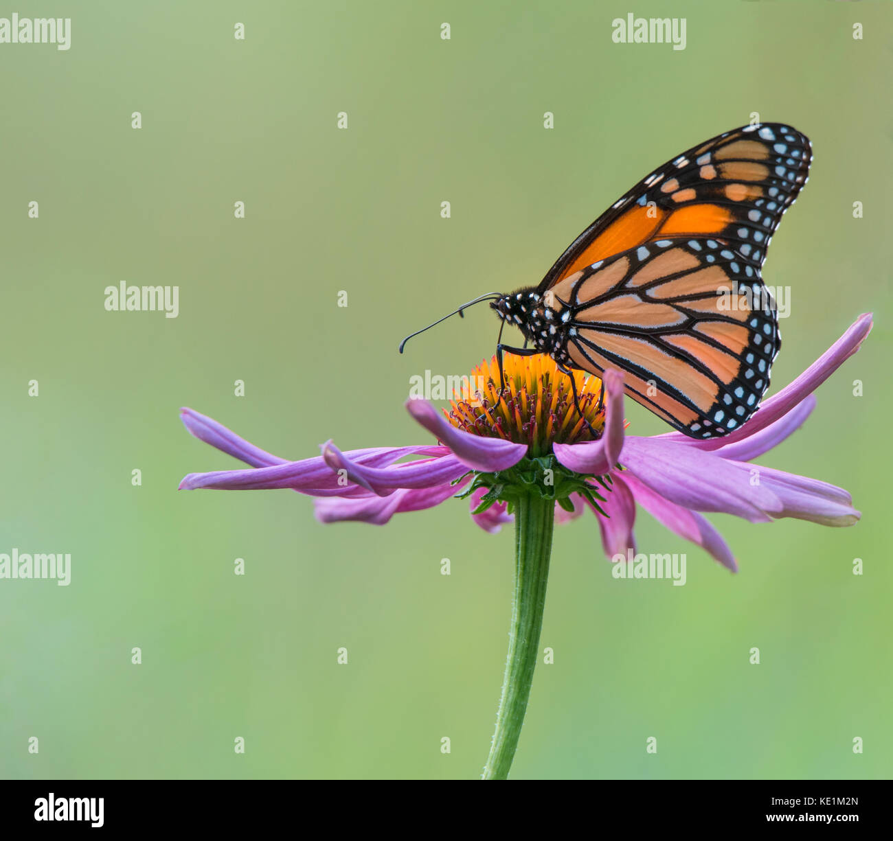 Monarch Butterfly  on a purple cone flower, Ontario, Canada Stock Photo