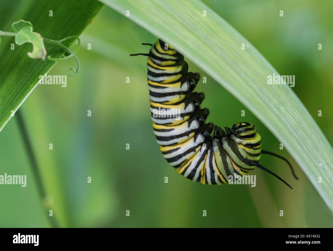 Monarch Caterpillar, pre chrysalis stage, hanging on leaf in Ontario, Canada Stock Photo