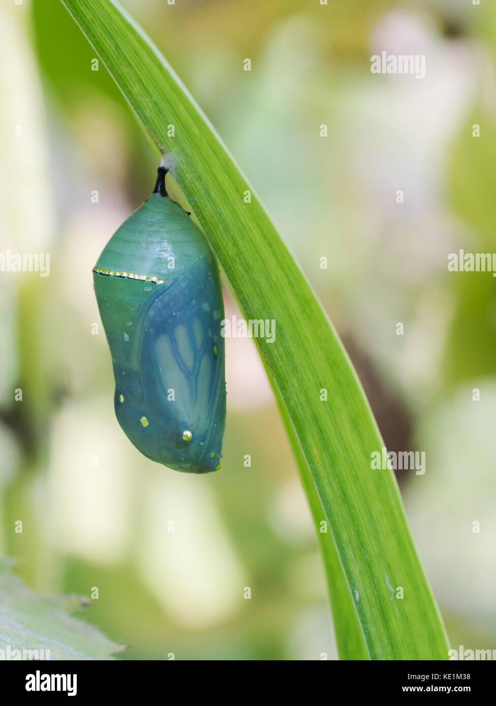 Monarch Butterfly chrysalis, Ontario, Canada Stock Photo