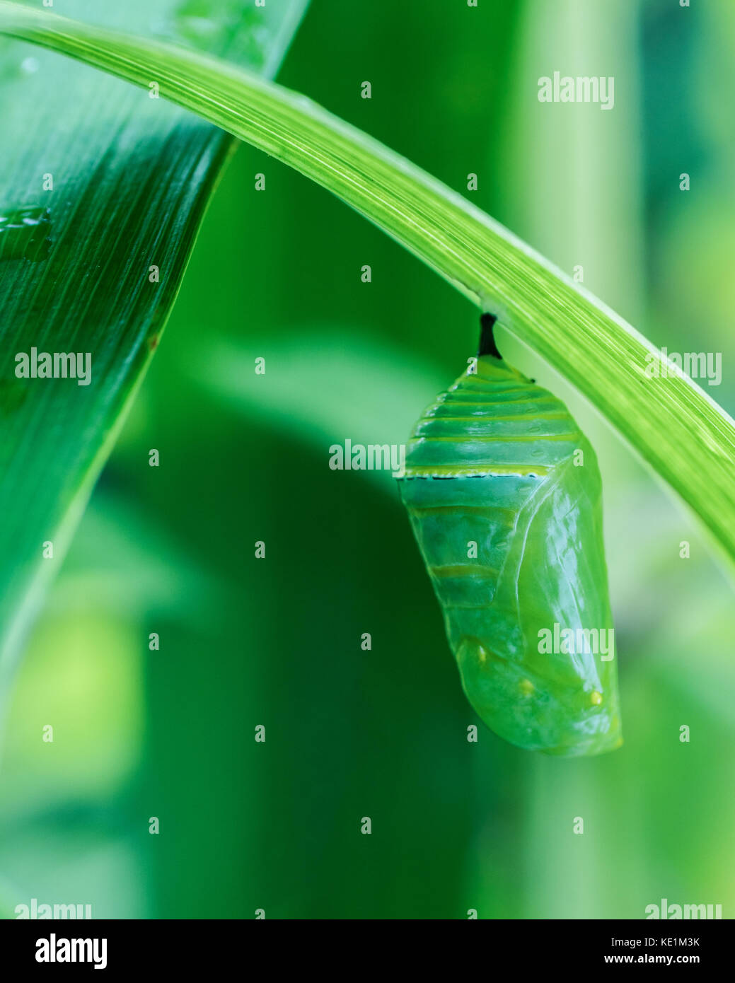 Monarch chrysalis hanging form a leaf in Ontario, Canada Stock Photo