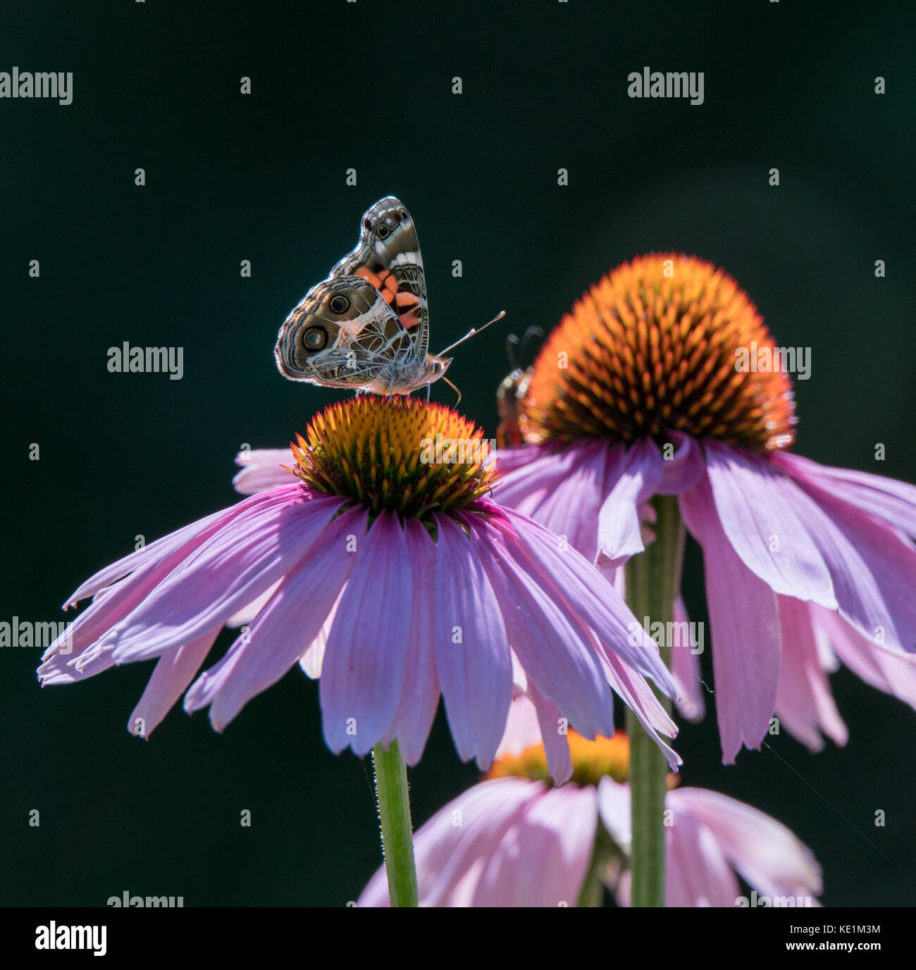 Monarch Butterfly and Honey Bee on a purple cone flower Stock Photo