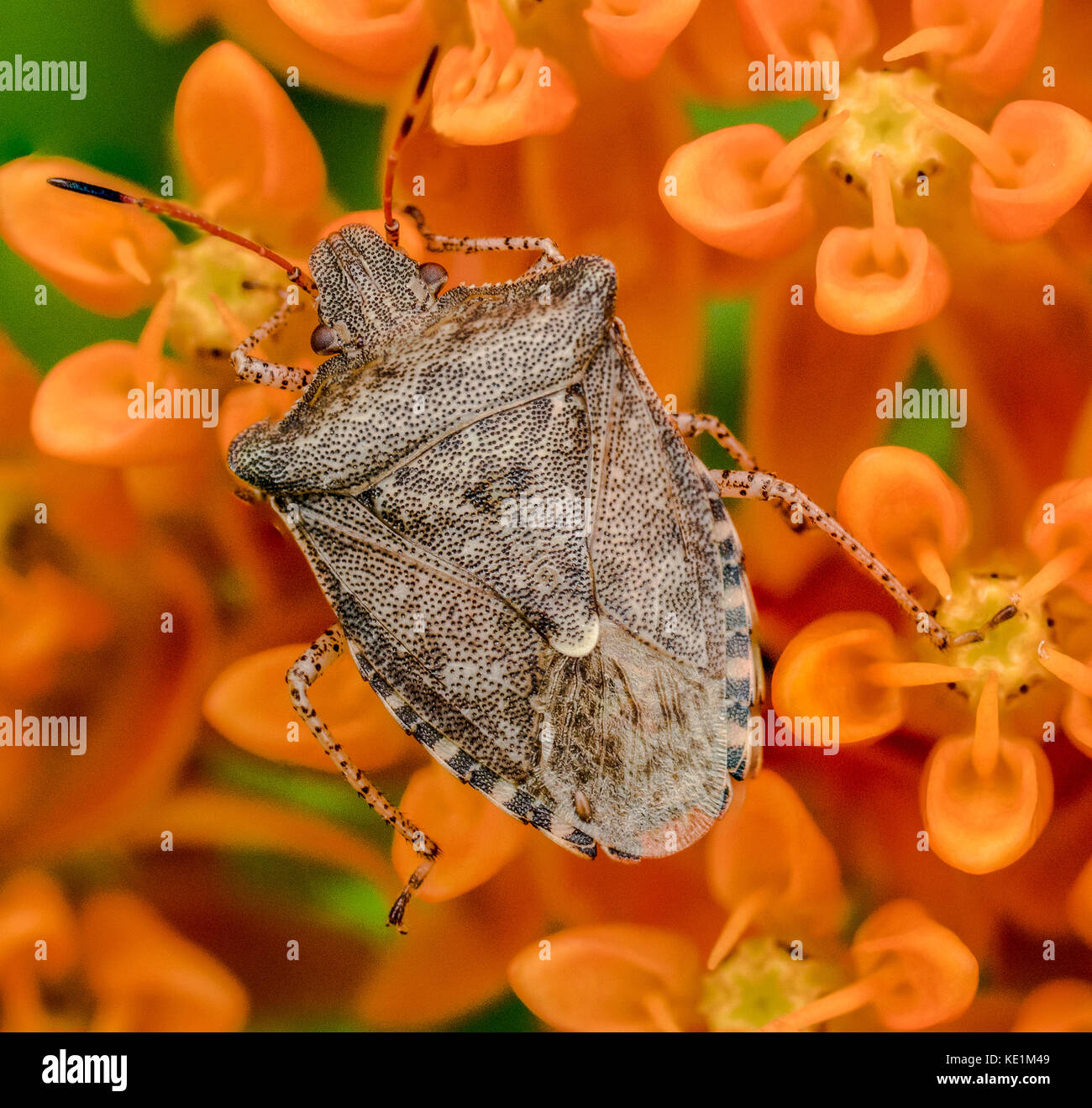 Spined Soldier Bug, Podisus spp. on butterfly weed, Asclepias tuberosa, Ontario, Canada Stock Photo
