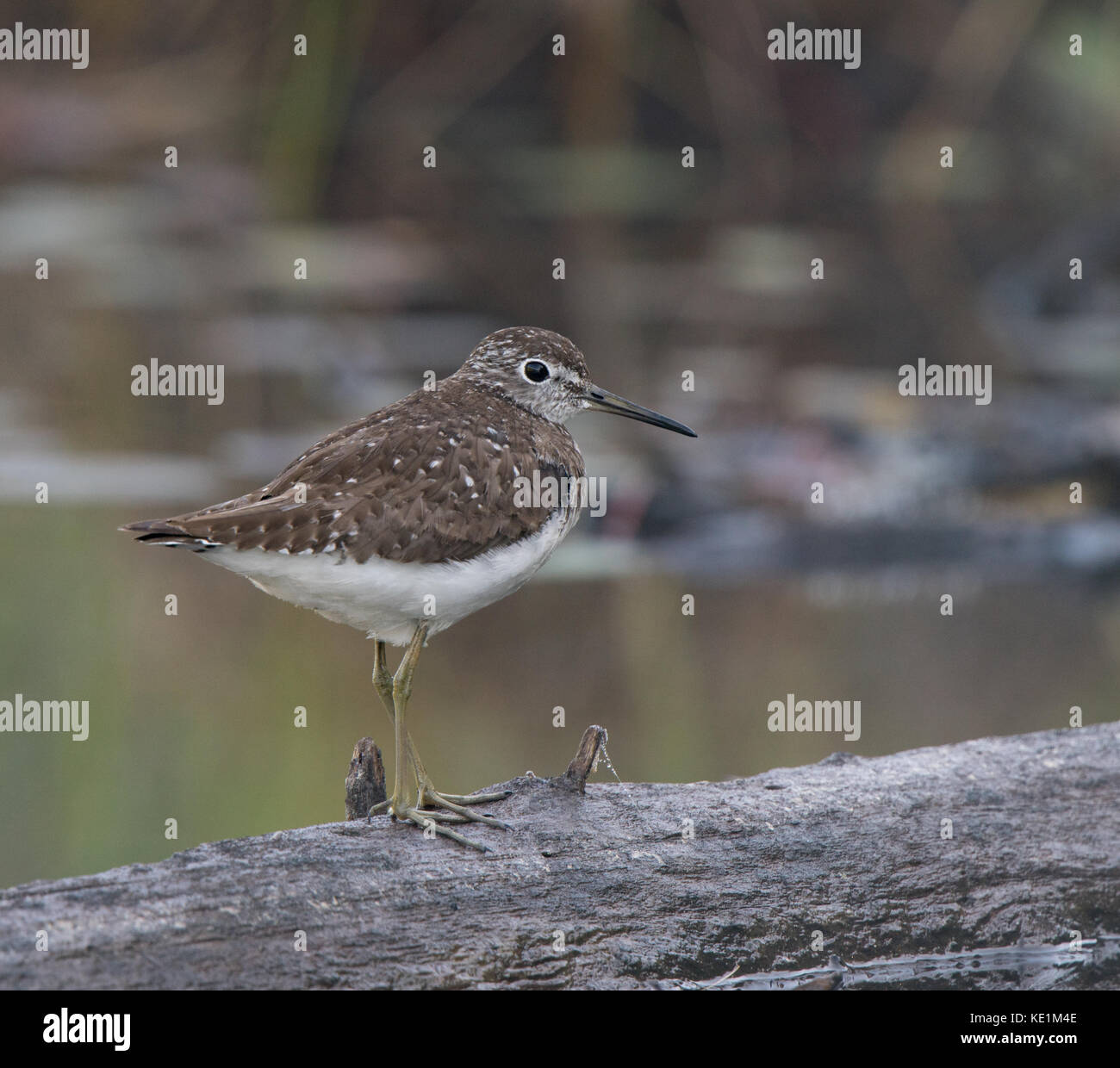 Spotted Sandpiper, Actitis macularia walking on log Ontario, Canada Stock Photo