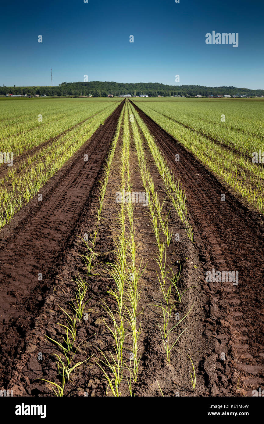 Field of onions in the Holland Marsh of Bradford West Gwillimbury, Ontario, Canada - Stock Image
