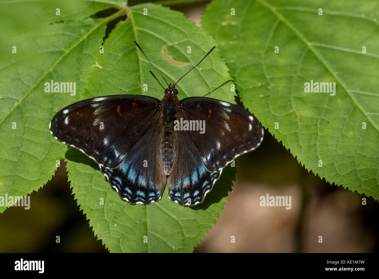 Limenitis arthemis butterfly hybrid of subspecies Red-spotted Purple (Limenitis arthemis astyanax) and White Admiral - Stock Image