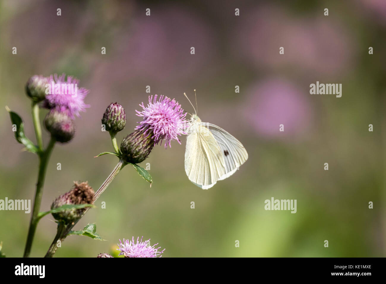 Cabbage White (Pieris rapae) on Canada Thistle (Cirsium arvense), both the butterfly and thistle were introduced - Stock Image
