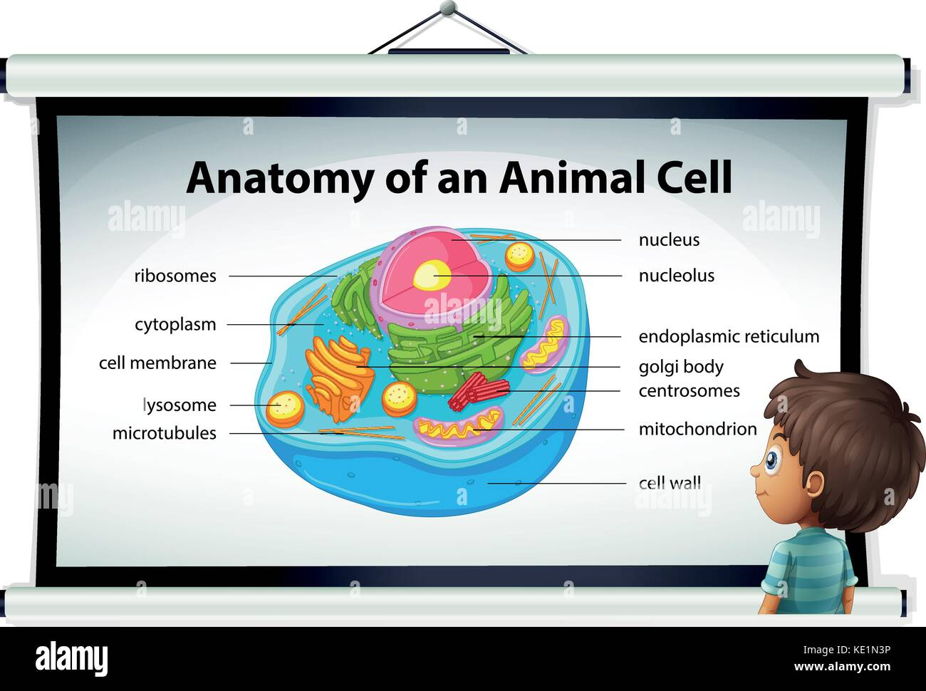 Chart showing anatomy of animal cell illustration Stock Vector Art ...