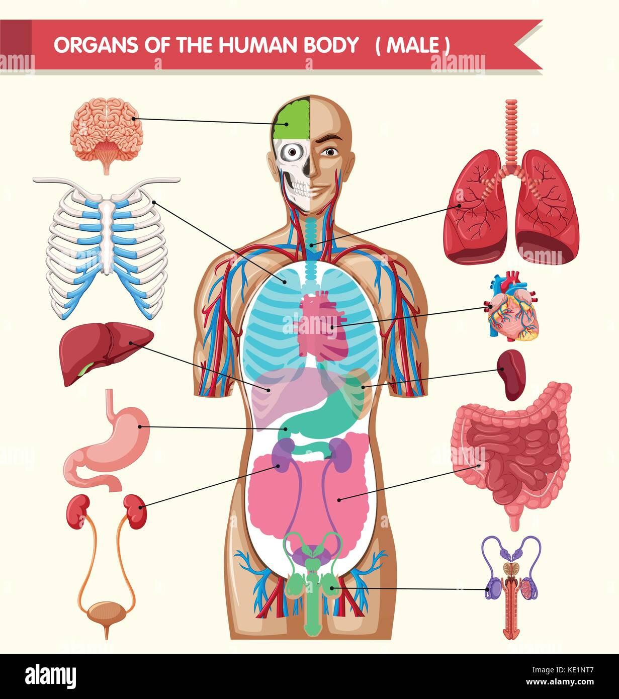 Chart Showing Organs Of Human Body Illustration Stock Vector Art