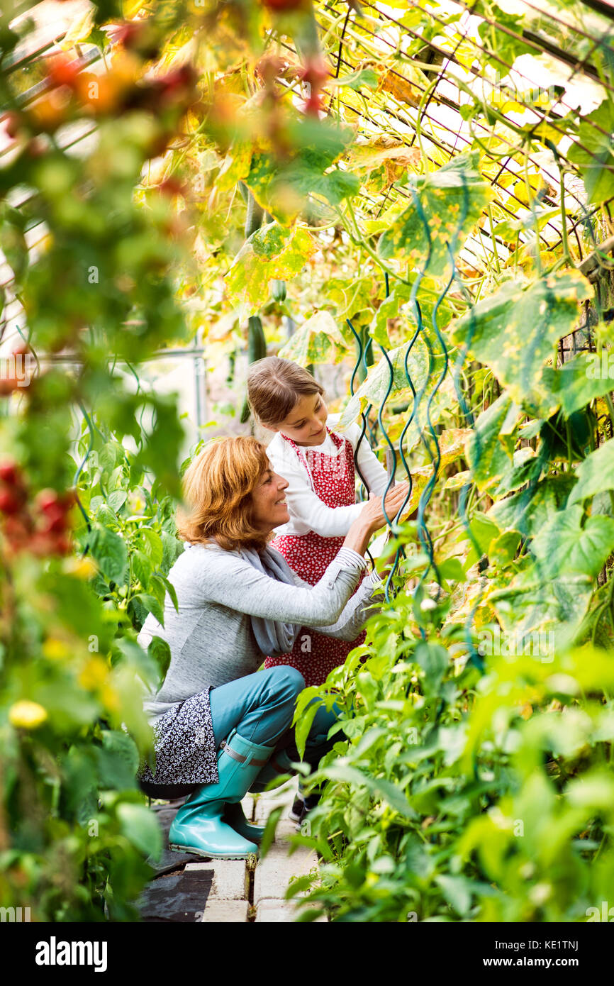 Happy healthy senior woman with her grandaughter harvesting vegetables in greenhouse. Woman and a small girl gardening. - Stock Image