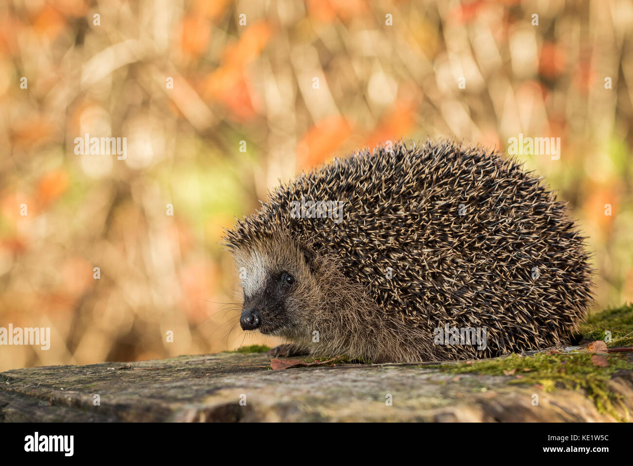 European hedgehog, Erinaceus europaeus with soft colorful autumn leaves in the background - Stock Image