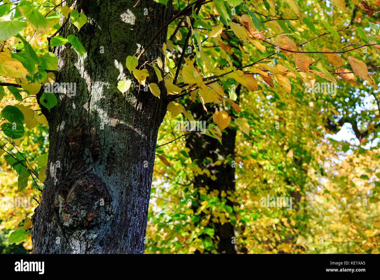 Yellow Autumn Leaves Linden Tree Stock Photos & Yellow Autumn Leaves ...