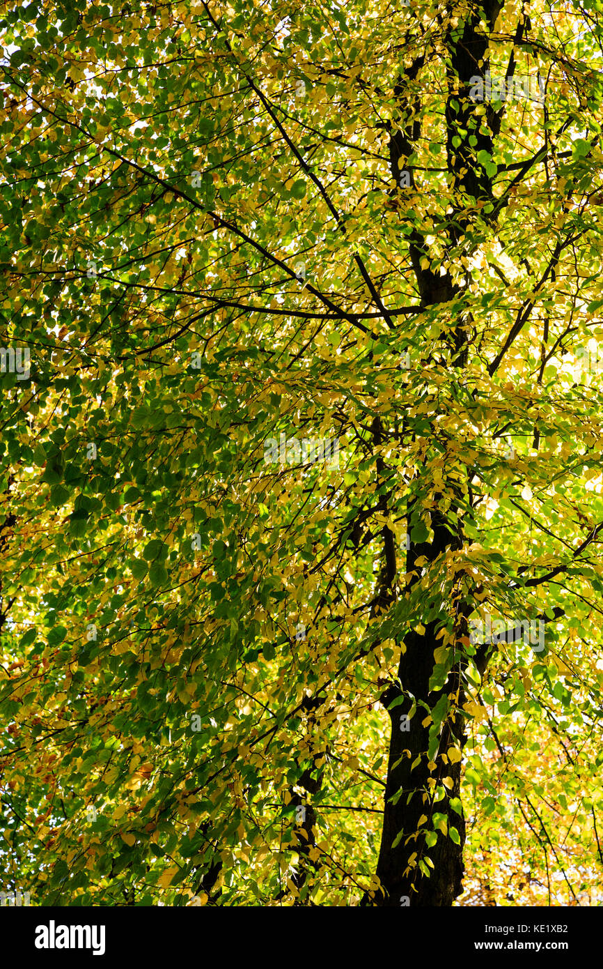 Yellow Leaves Linden Tree Stock Photos & Yellow Leaves Linden Tree ...