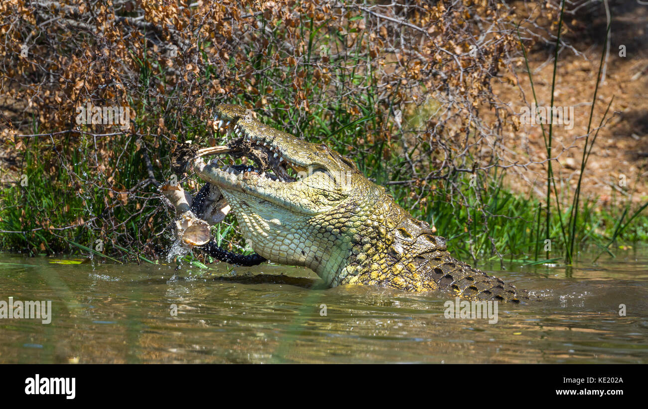 Nile crocodile in Kruger national park, South Africa ; Specie Crocodylus niloticus family of Crocodylidae - Stock Image