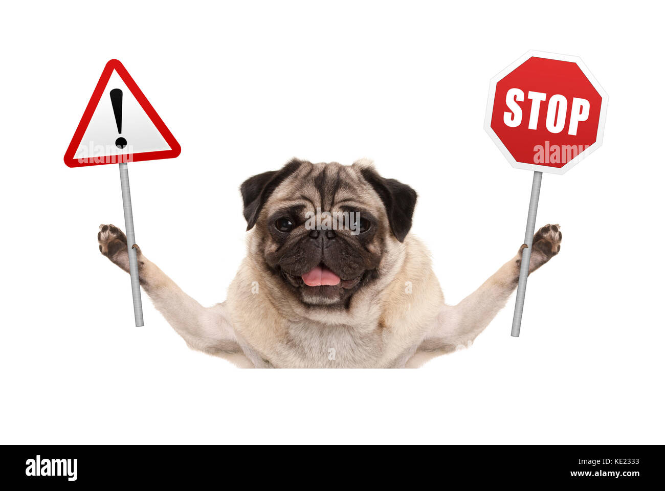 smiling pug dog holding up red stop and exclamation mark sign isolated on white background - Stock Image