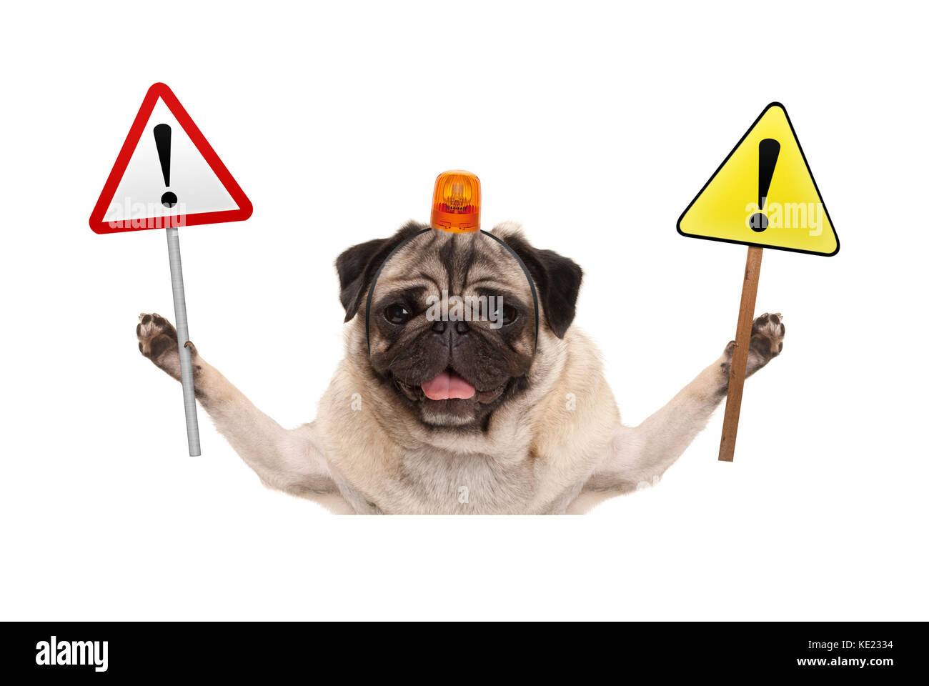 smiling pug dog holding up stop sign and yellow  exclamation mark sign, with orange flashing light on head, isolated - Stock Image