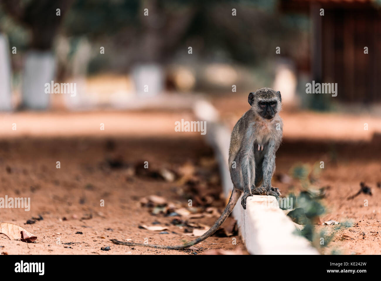 Vervet Monkey in Angola - Stock Image