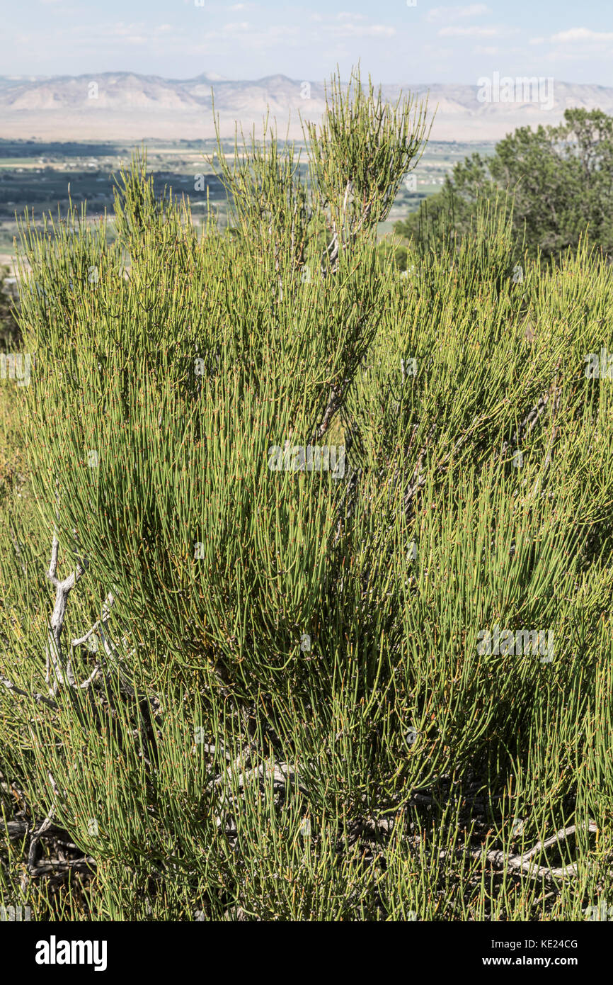 Mormon Tea Bush (Ephedra), Desert Southwest, USA Stock Photo