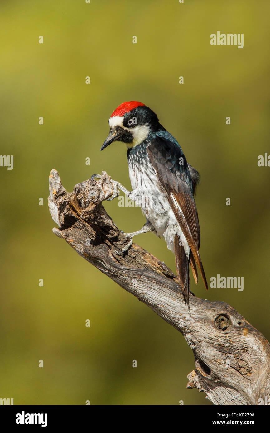 Acorn Woodpecker Melanerpes formicivorus Santa Rita Mountains, Santa Cruz County, Arizona, United States 18 May - Stock Image