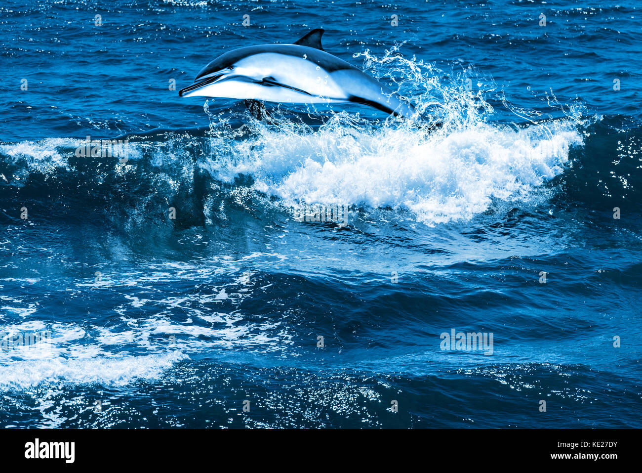Jumping dolphin - Stock Image