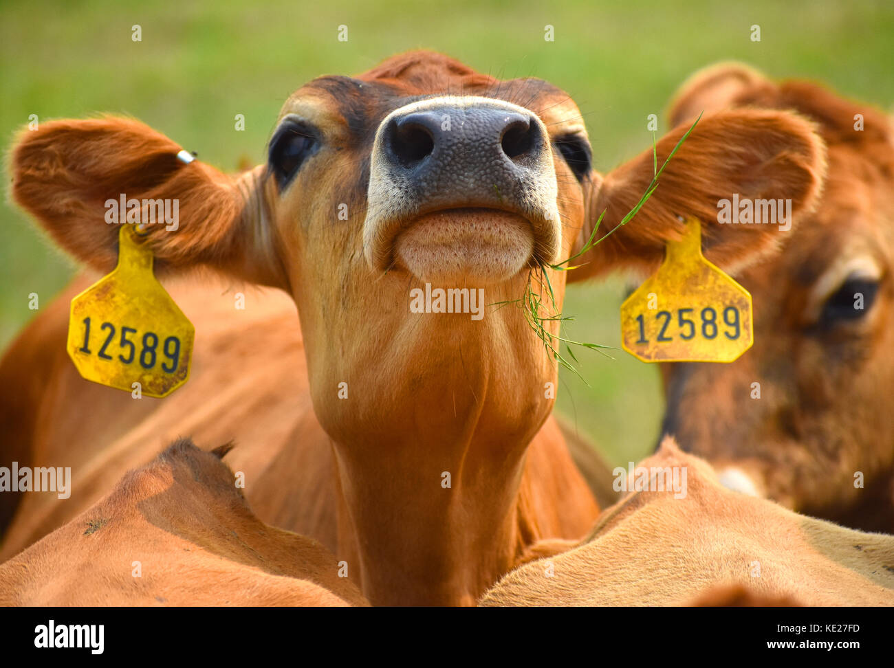 Cow closeup with identification tags in the ears. - Stock Image