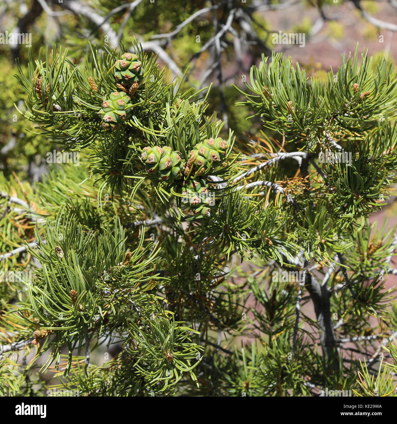 Green pinon nuts cones on Pinon Pine tree, south rim of Grand Canyon - Stock Image