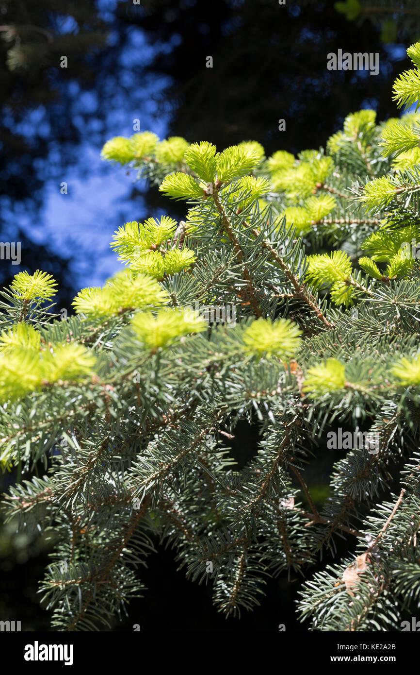 Griechische Tanne, Kefalonische Tanne, Abies cephalonica, Abies alba subsp. cephalonica, Greek fir, Grecian fir, - Stock Image