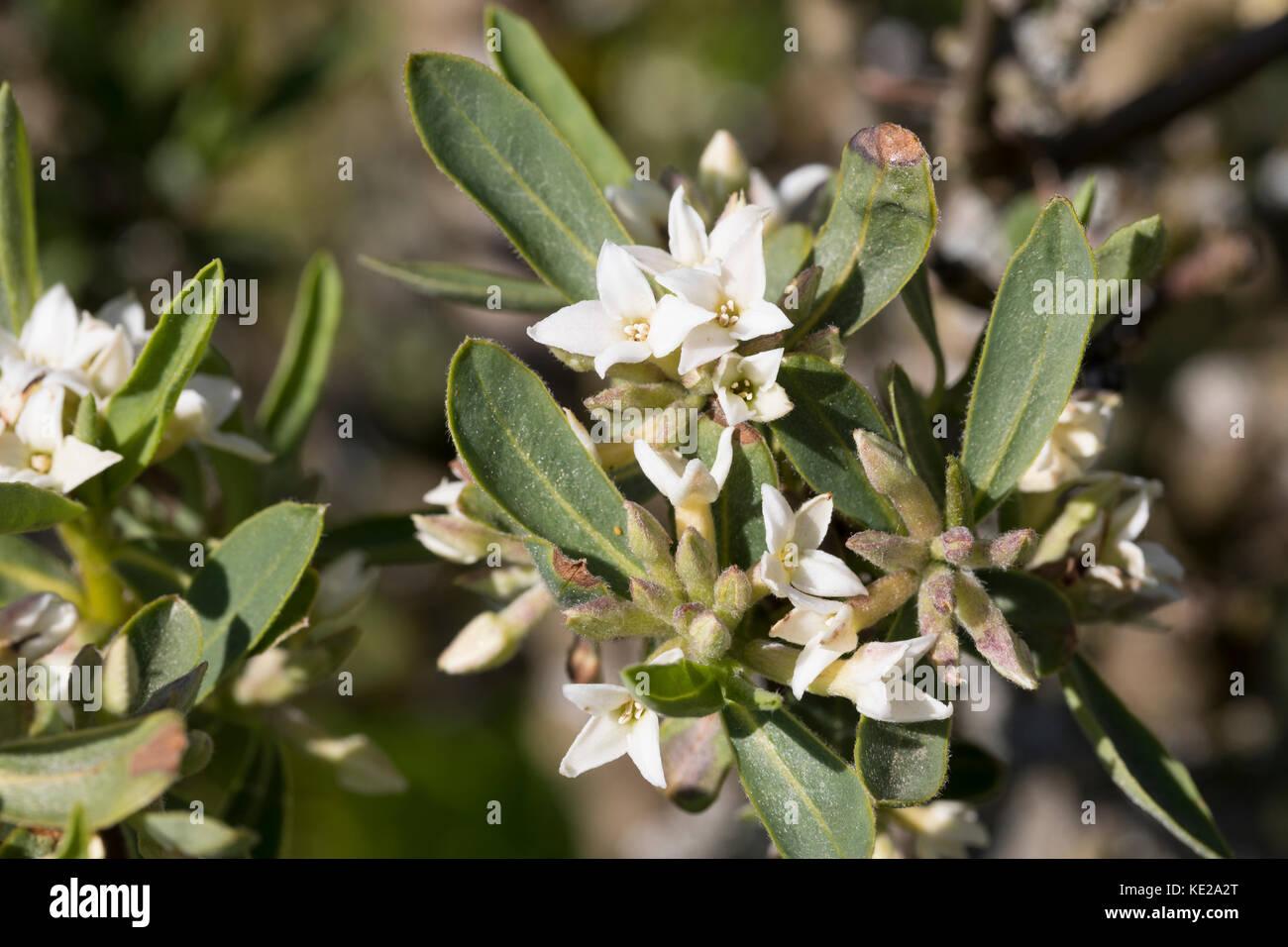 Kaukasischer Seidelbast, Daphne caucasica, Caucasian Daphne - Stock Image